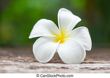 White flower Frangipani Plumeria on nature green background - tropical flowers in the garden