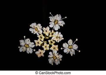 White flower from apiaceae family on a black background macro