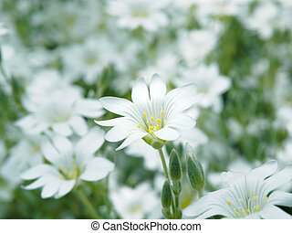 White flower in garden. Field of small white flowers shooting with soft focus. Fresh wild flowers for romantic and eco design. Blurred backdrop