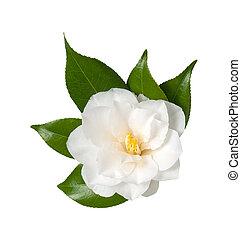 Camellia - White Flower Isolated on White Background, ...