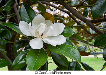 White flower Magnolia on a tree branch