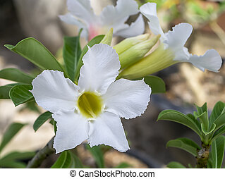 White flower of Adenium obesum (Desert Rose; Impala Lily; ...