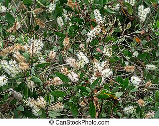 Cajuput tree, Milk wood, Paper bark tree - White Flower of ...