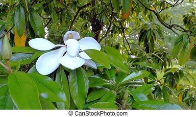 White flower of ficus elastica tree. Close-up.