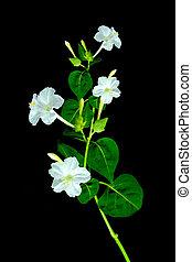 White flower of Marvel of peru, Four-o'clocks (Mirabilis jalapa L.)