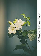 White flower of Orange Jessamine, Satin wood, Murraya...