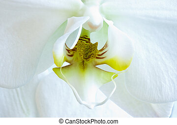 White flower of Phalaenopsis or Moth Orchid