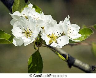 White flower of the apple tree
