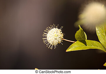 White flower on buttonbush plant Cephalanthus occidentalis