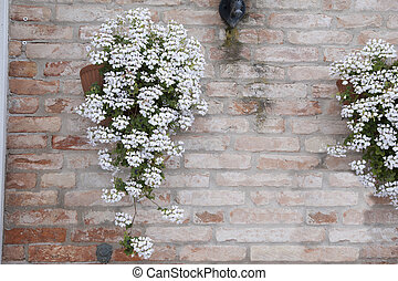White Flower on Red Brick Wall, Venice