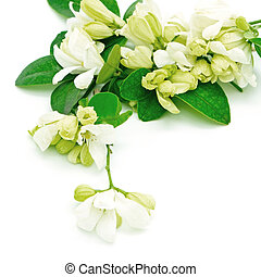 Orange Jessamine - White flower, Orange Jessamine (Murraya ...
