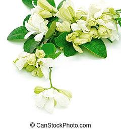 White flower, Orange Jessamine (Murraya paniculata) or China Box Tree, Andaman Satinwood, isolated on a white background