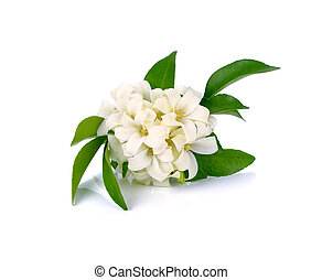 White flower, Orange Jessamine (Murraya paniculata) or China...
