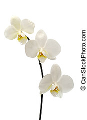 White flower orchid isolated