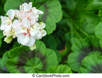 white flower Phlox