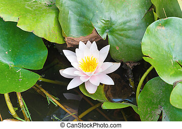 White flower- water lilly