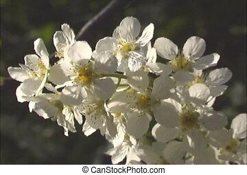 White flowering close.