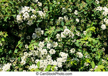White flowering shrub Spirea aguta (Brides wreath)