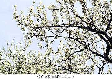 white flowering tree at spring, savoy, france