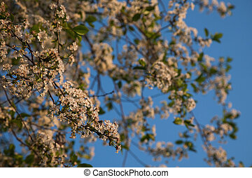White flowering trees on a background of blue sky