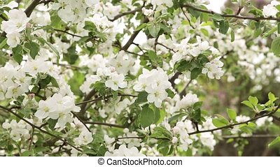 White flowers and buds of an apple - Flowering apple...