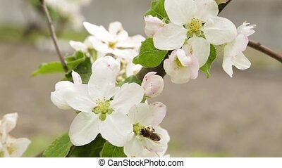 White flowers and buds of an cherries - Flowering apple...