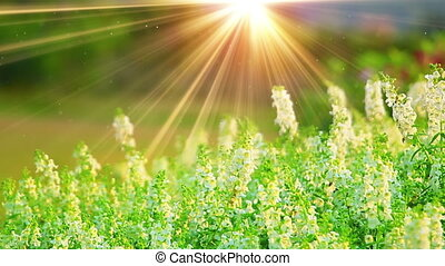 white flowers and sunrays in spring forest