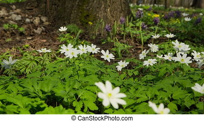 white flowers anemones in spring wood - slider dolly shot in RAW