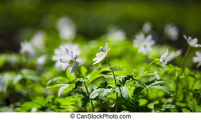 white flowers anemones in spring wood - shot in RAW