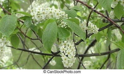 White flowers bird cherry tree