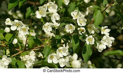 white flowers blooming apple tree in the orchard