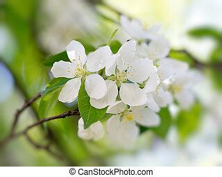 White flowers blooming - White pear flowers blooming. Macro...