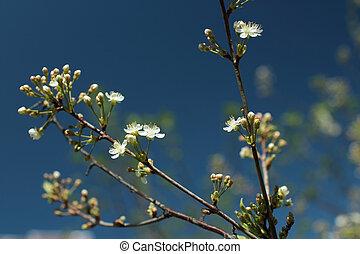 White flowers blossom cherry tree