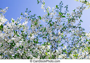 White flowers blossom cherry tree bottom view, orchard blooming in spring. Backdrop wallpaper background for design. A branch of a beautiful flowering garden cherry tree in bloom