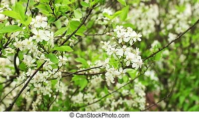 white flowers  blossoming cherry orchard