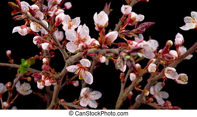White Flowers Blossoms on the Branches Cherry Tree. Dark...