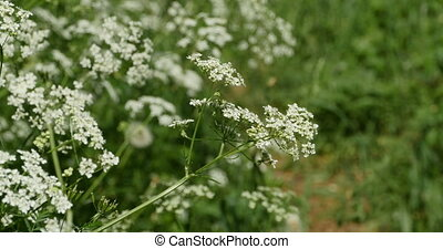 white blooming flowers hemlock poisonous plant
