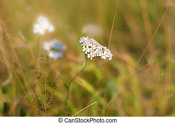 White flowers of a yarrow in the autumn field
