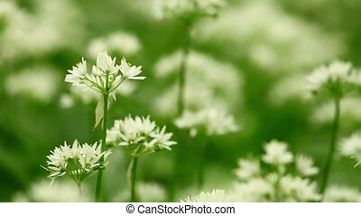 White flowers of Allium ursinum