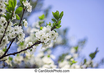 White flowers of apple tree against blue sky
