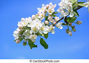White Flowers of Apple Tree and Blue Sky