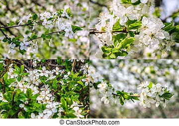 white flowers of apple tree on blur background - set of...