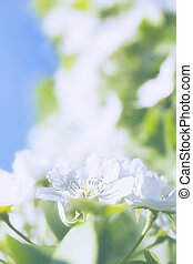 White flowers of apple trees against the blue sky