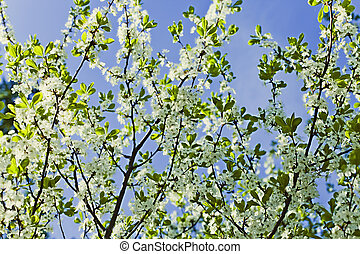 White flowers of apple trees against the blue sky