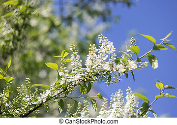 White flowers of bird cherry on a branch close up