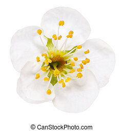 white flowers of cherry blossom isolated on white