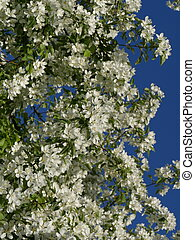 white flowers of cherry