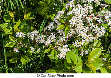 White flowers of cherry