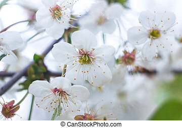 White flowers of cherry tree on blue sky background