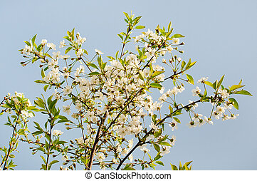 White flowers of cherry tree